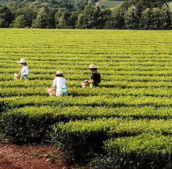 Elaboración de té verde express 1 día